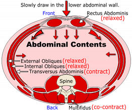 multifidus and abdomen